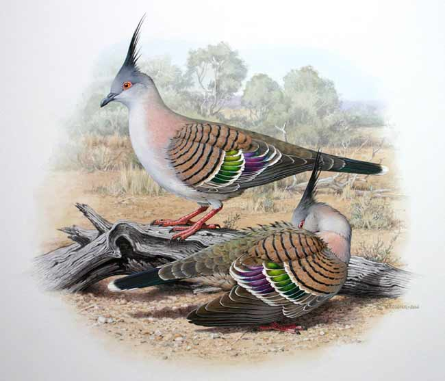 Crested Bronzewing